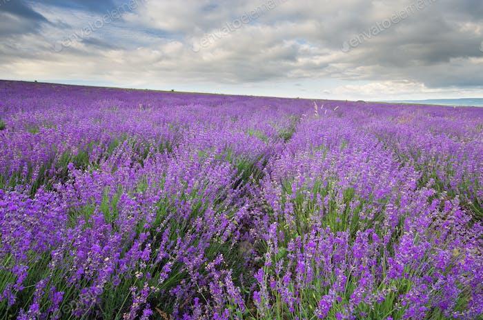 Wiese von Lavendel am bewölkten Tag.