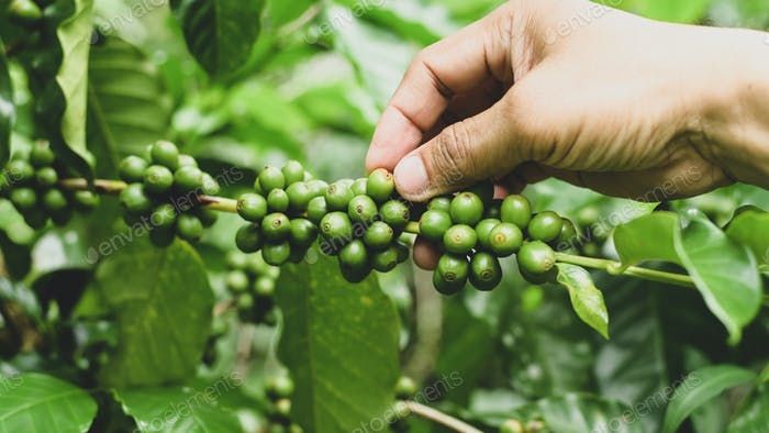 A coffee plantation farmer is caring for the coffee beans on the plant.