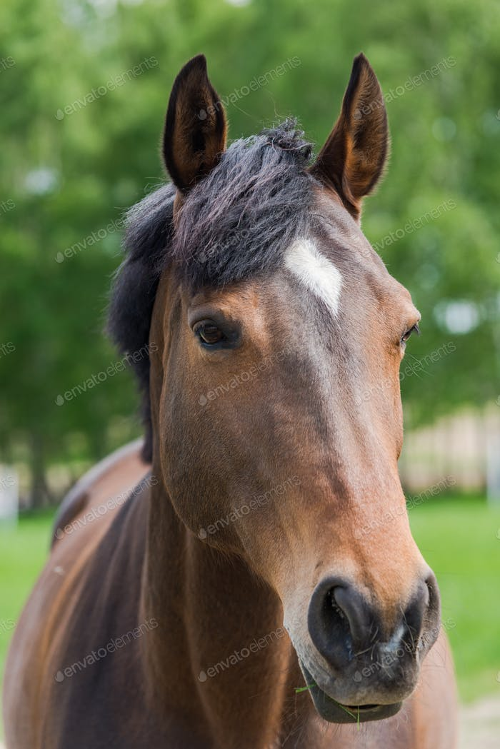 Chestnut horse head close portrait