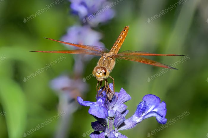 Dragonfly sitting on top of purple flower in the garden