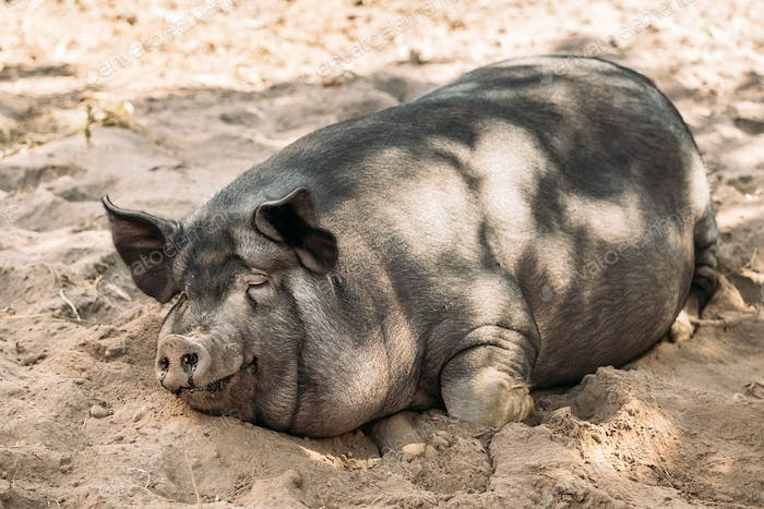 Household Pig Enjoys Relaxing In Dirt. Large Black Pig Resting I