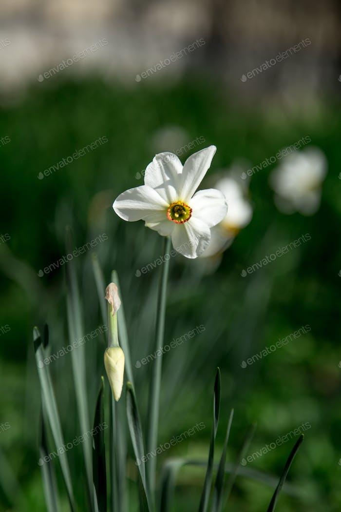 white Narcissus in the garden