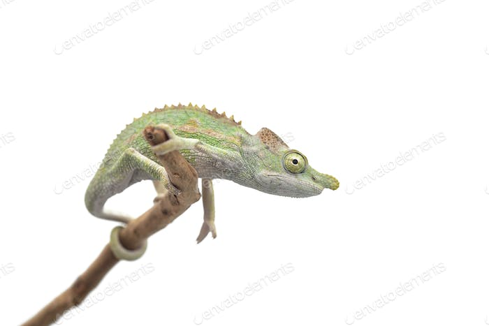 Male Lizard Antimena chameleon isolated on white background