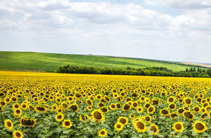 Beautiful sunflower field.