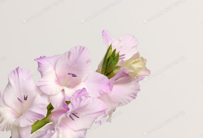 branch of gladiolus flowers