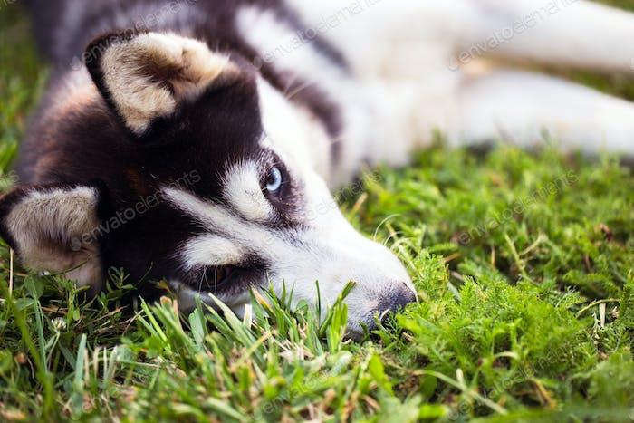 Thumbnail for Siberian Husky. The Siberian Husky rests on the grass.