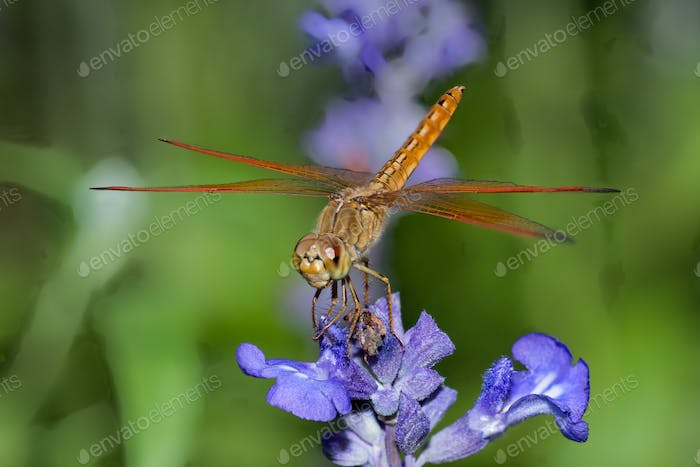 Dragonfly sitting on top of purple flower Close up