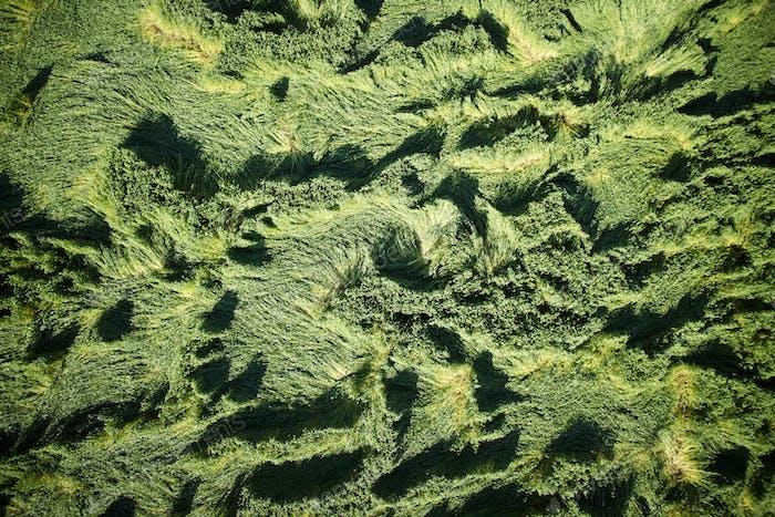 Windschäden am Weizen