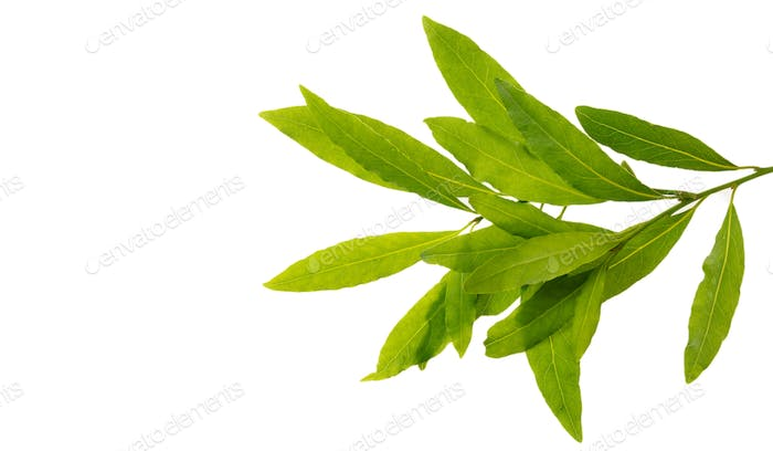 Bay leaves with copy space isolated on white background