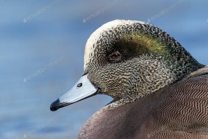 American Wigeon Male - Anas americana