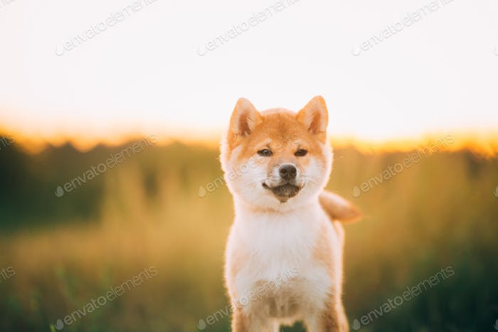 Close Up Portrait Beautiful Young Red Shiba Inu Puppy Dog During