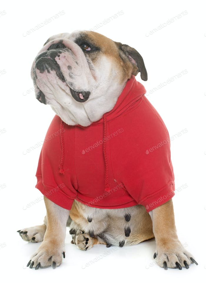 dressed english bulldog