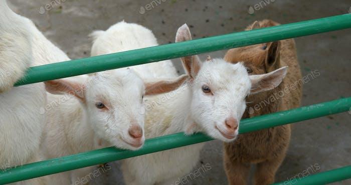 Süße kleine Schaffarm