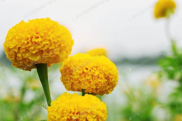 beauty of marigold