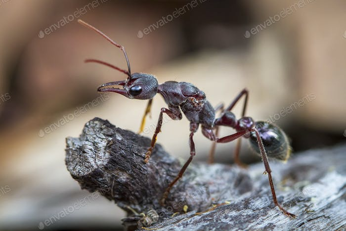 Inchman Ant Up Close in Tasmania