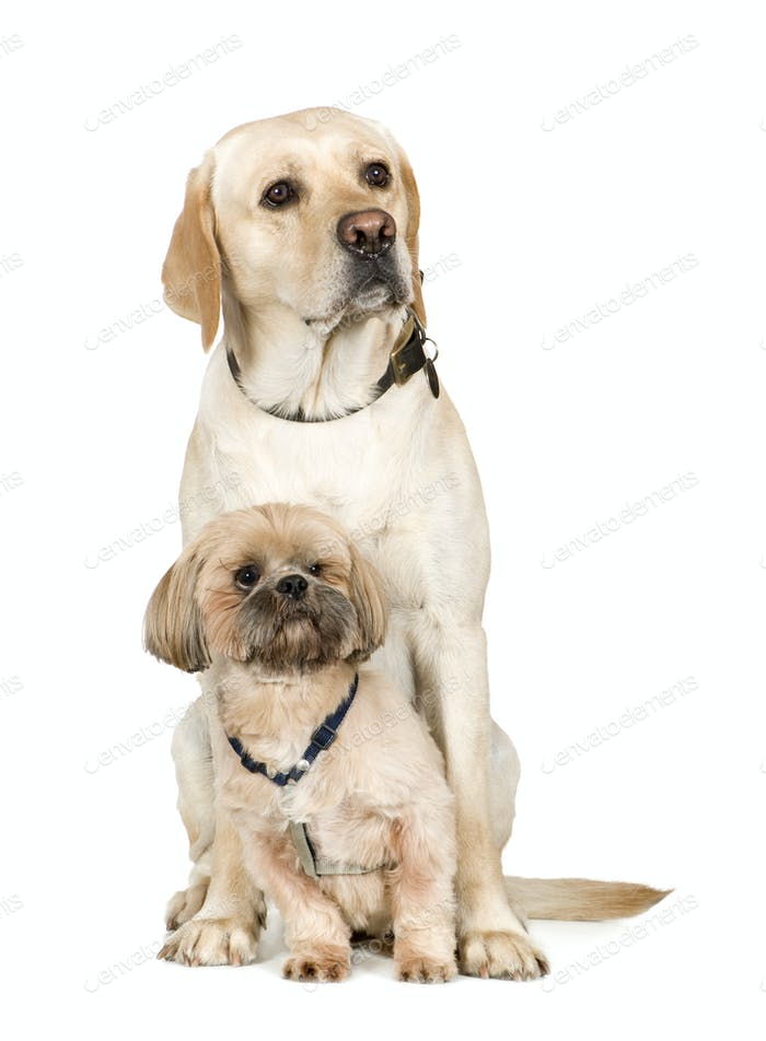 Lhasa Apso and a labrador