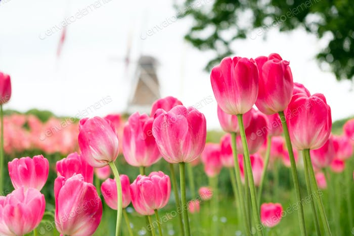 Group of red pink tulips in the park