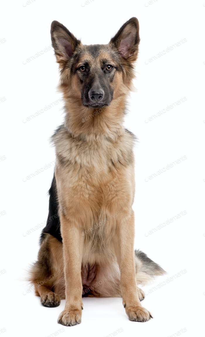 german shepherd dog sitting and facing at the camera