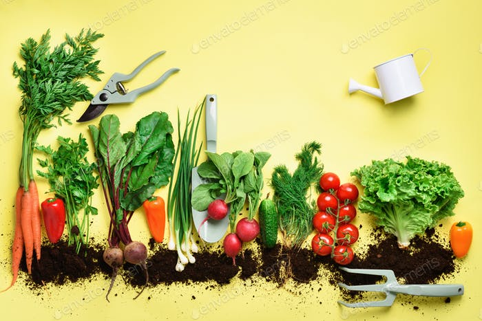 Organic vegetables and garden tools. Top view. Carrot, beet, pepper, radish, dill, parsley, tomato