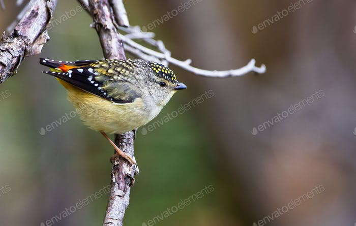Spotted Pardalote Male Perched in Australia