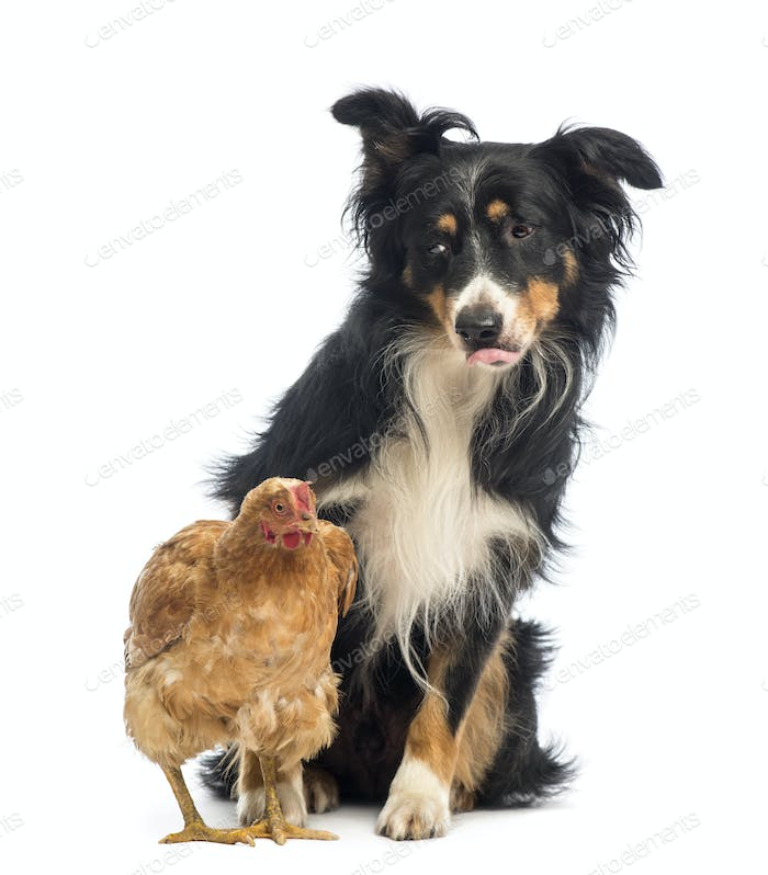 Border Collie, 8.5 years old, sitting behind a hen