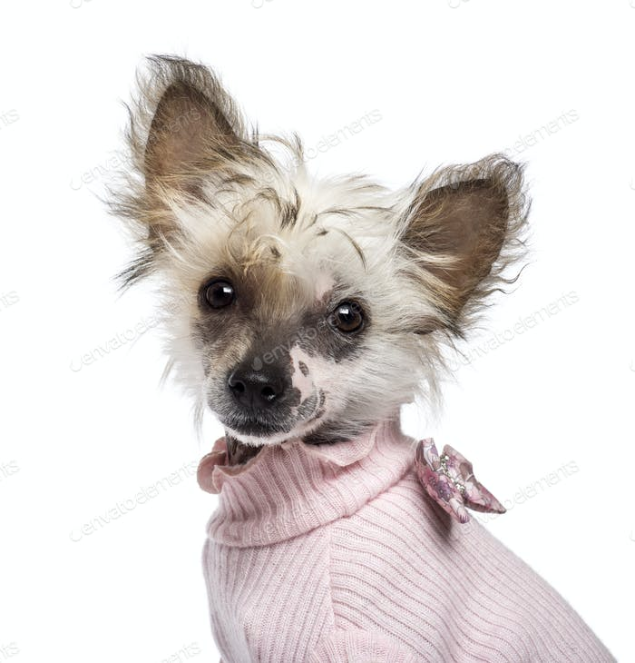 Chinese Crested Dog puppy, 4 months old, looking at camera against white background