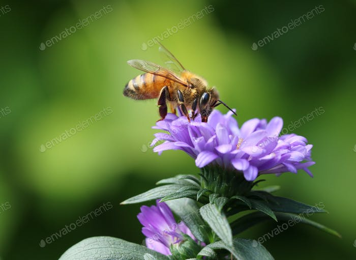 Bee in purple flower