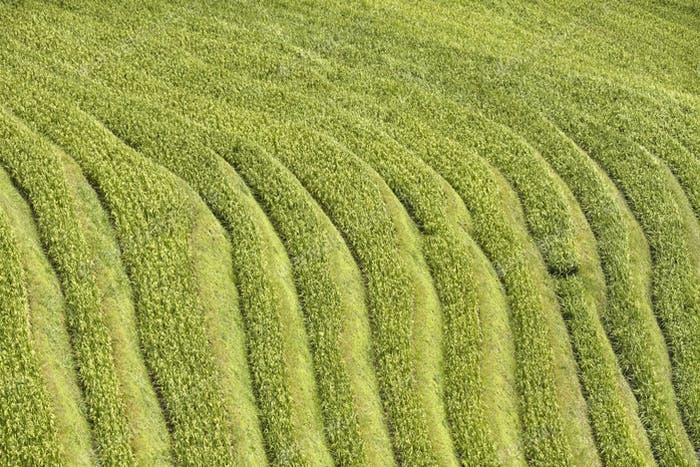Rice terraced fields, nature abstract background