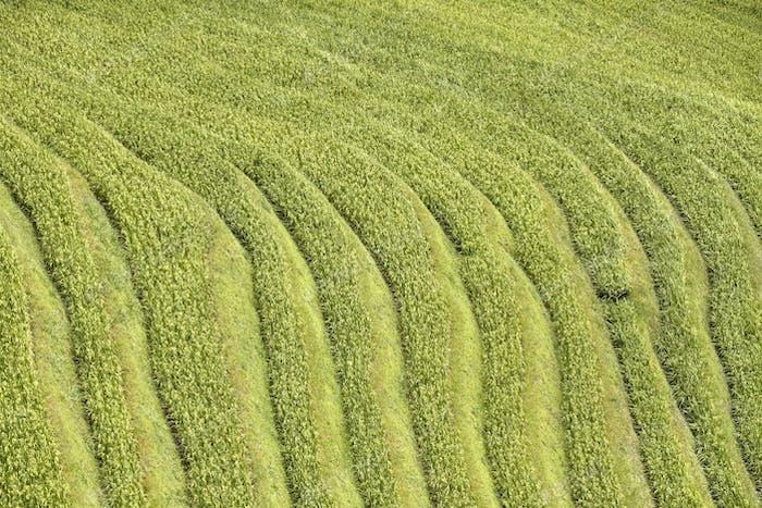 Reis terrassierten Felder, Natur abstrakter Hintergrund