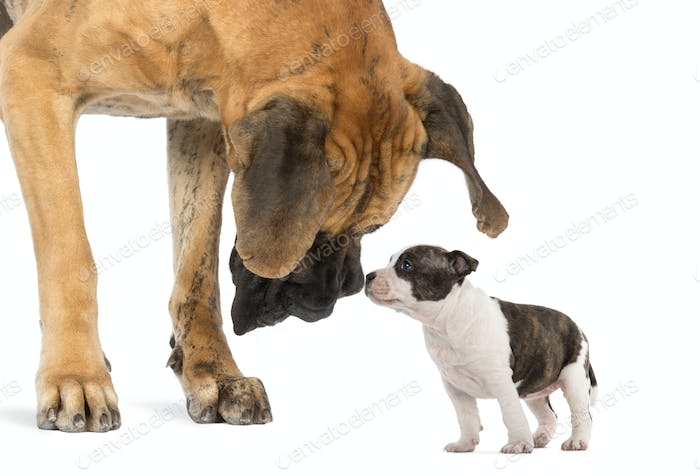 Great Dane looking at an American Staffordshire puppy, isolated on white