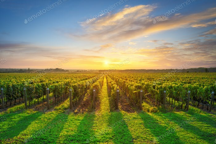 Bolgheri and Castagneto vineyard on sunset in backlight. Maremma Tuscany, Italy
