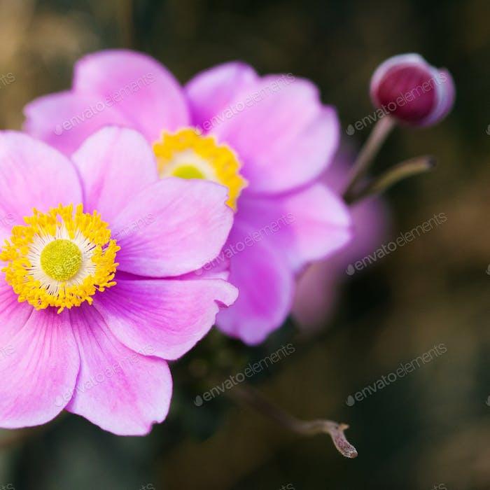 Closeup pink petals Anemone flower. Shallow depth of field.