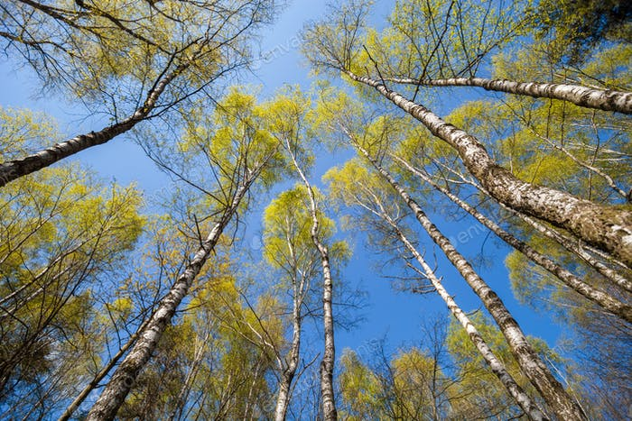 Bottom view of spring trees in forest or park
