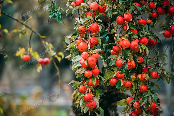 Branch Hung With Ripe Red Apples In Autumn Season
