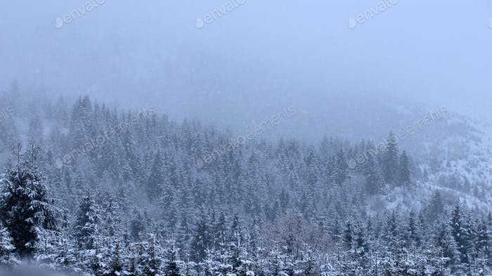 Snowy fir forest in winter mountains