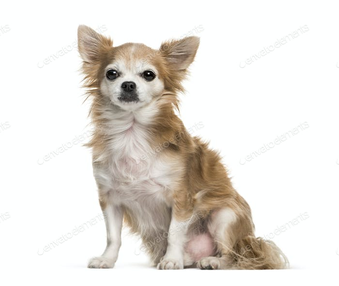 Brown Chihuahua dog sitting, cut-out