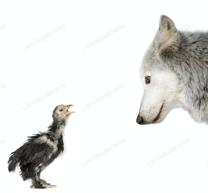 Mackenzie Valley Wolf looking at a chick in front of white background, studio shot