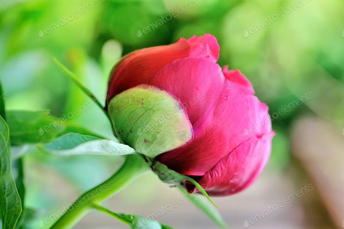 Red peony bud on a green background