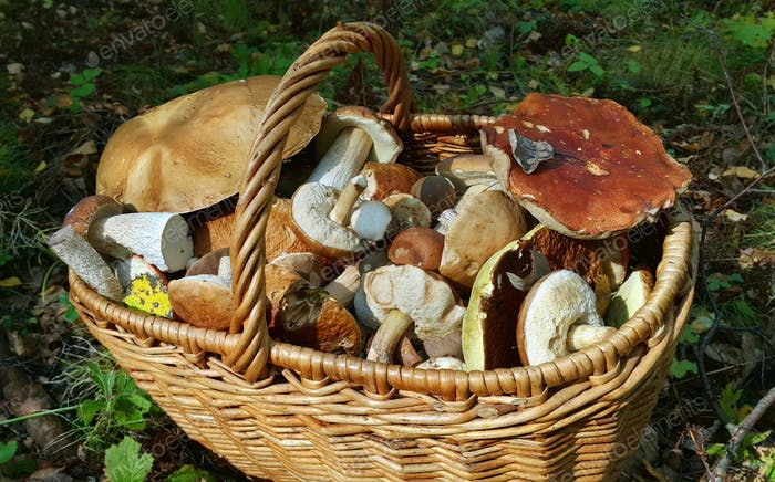Basket with edible mushrooms
