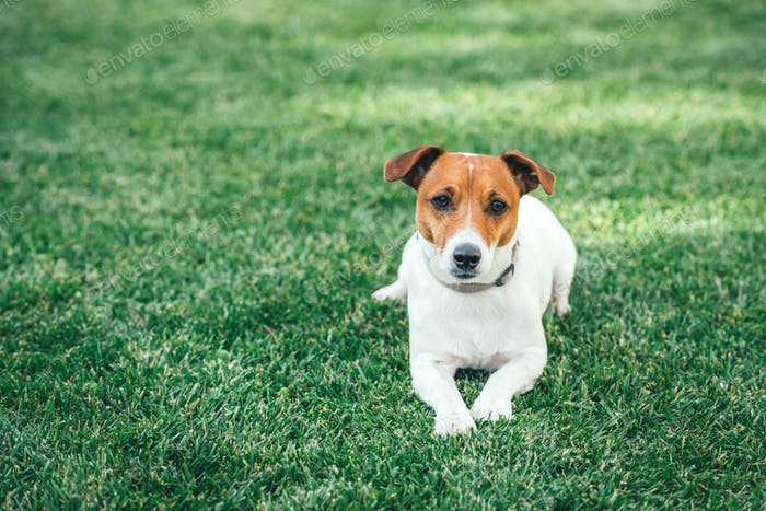 Jack russel terrier on green lawn