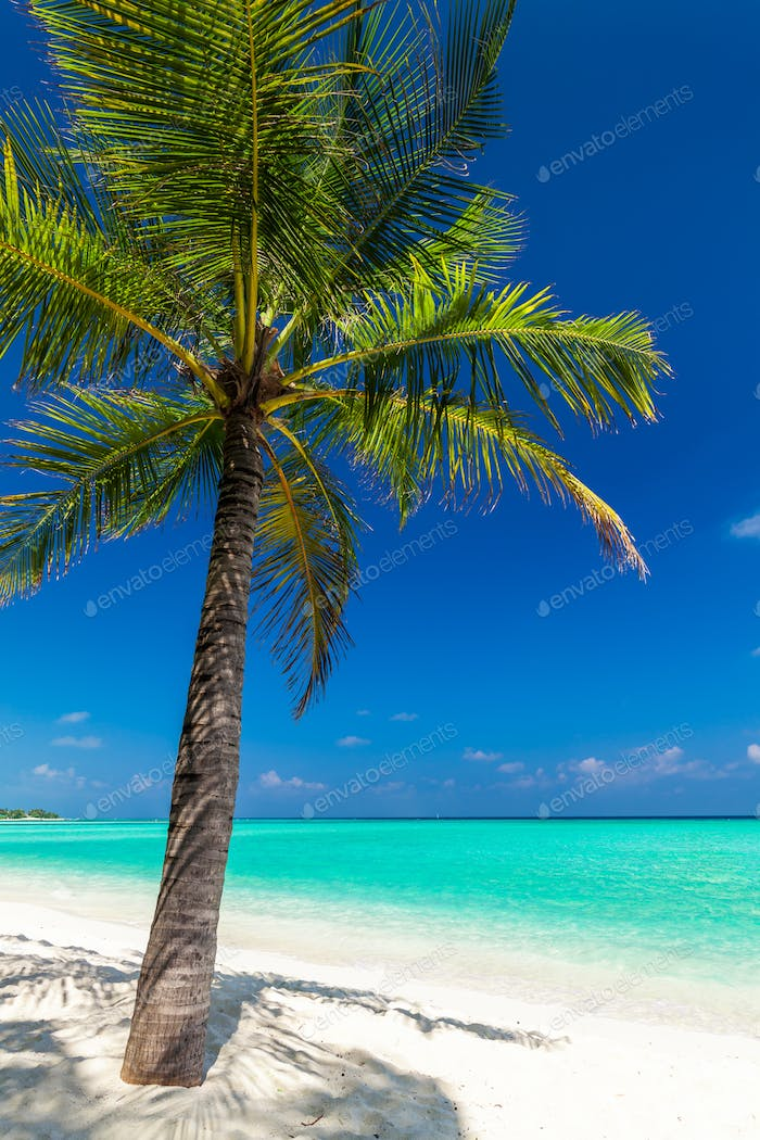 Single coconut palm tree on a tropical beach