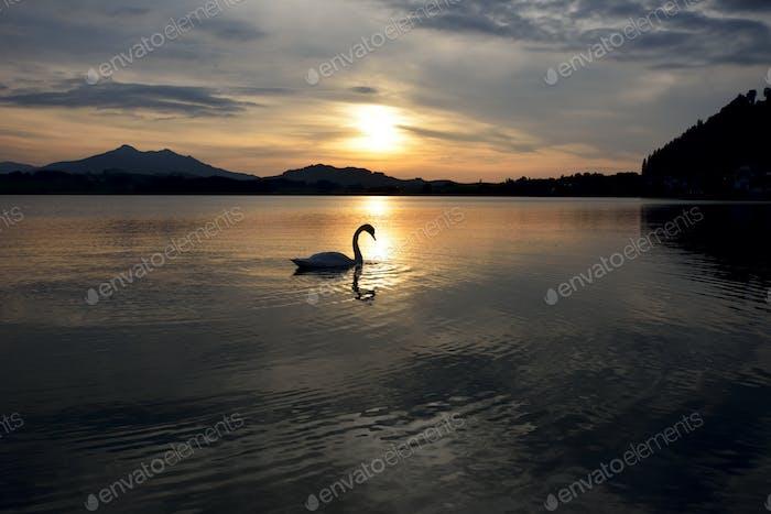 Schwan während des Sonnenuntergangs