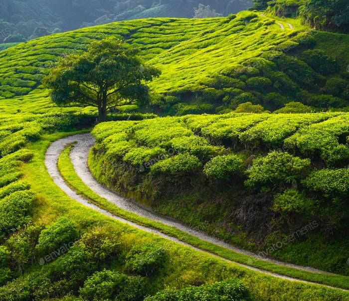 Tea meadow