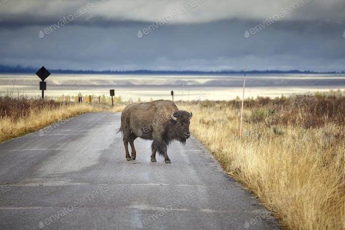 American bison crossing road in Grand Teton National Park, Wyomi