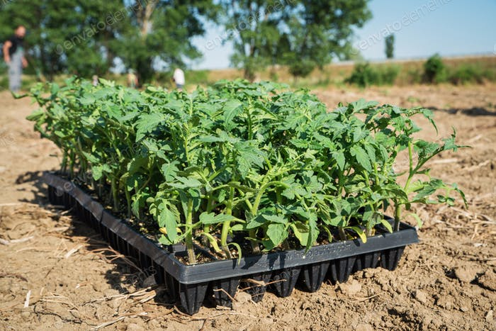 Young tomato plants in the field