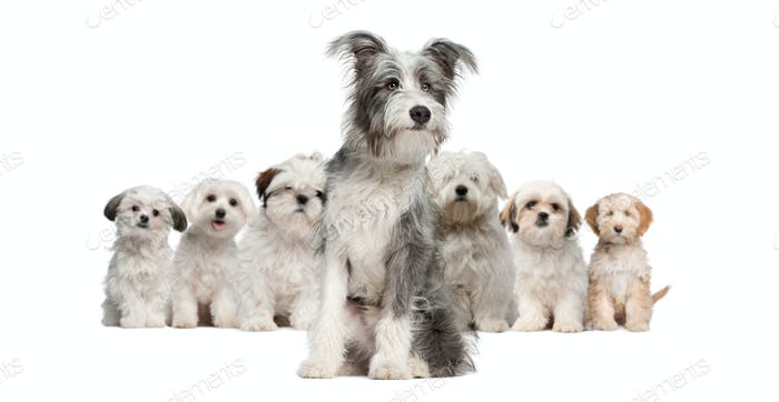Group of dogs, Bearded Collie, Maltese, Shih Tzu, sitting in front of white background
