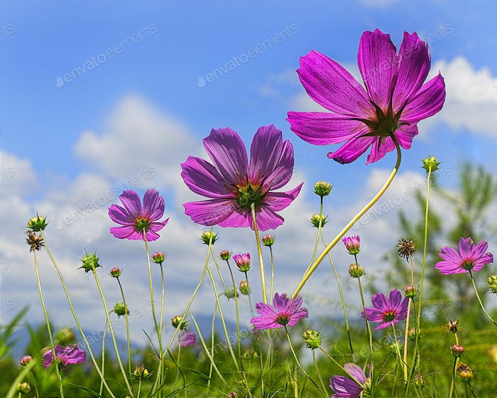 Pink Cosmos Flowers with Sky Background