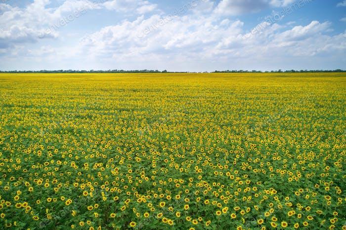 Big meadow of sunflowers.