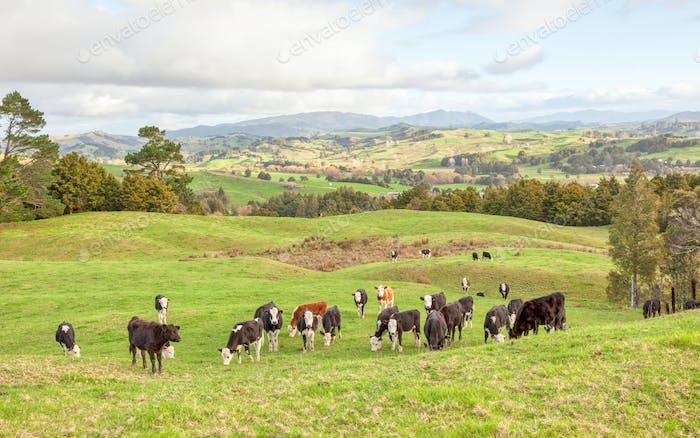 Cow Herd in New Zealand