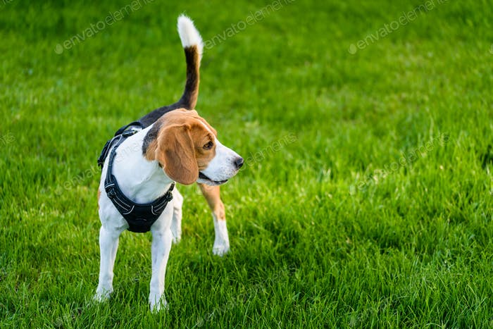 Beagle dog on a grass in park garden outdoors